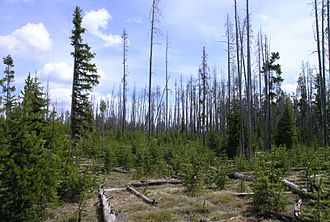 Complex early seral forest - Complex early seral forest, or snag forest, in Yellowstone National Park