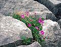 Burren Flora, Bloody Cranesbill (3621127123).jpg