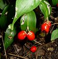 Butchers Broom. Ruscus aculeatus - Flickr - gailhampshire.jpg