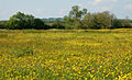 Buttercups near Priors Marston - geograph.org.uk - 1326977.jpg