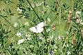 Butterfly2009-09-12 (25).JPG