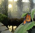 Butterfly exhibit at Conservatory of Flowers in San Francisco.jpg