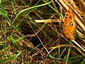 Butterfly in agriculture field 1.JPG