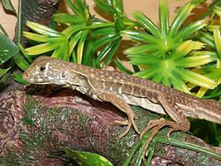 Butterfly lizard, Leiolepis belliana.jpg