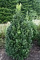 Buxus sempervirens Fastigiata 2zz.jpg