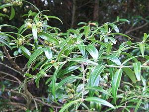 Buxus wallichiana.jpg