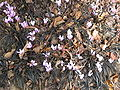 C. hederifolium & O. niger.jpg