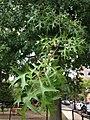 C26-2 Quercus coccinea (Scarlet Oak).JPG