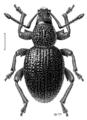 COLE Curculionidae Otiorhynchus ovatus.png