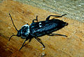 CSIRO ScienceImage 1133 A Hylotrupes Beetle.jpg