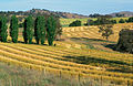 CSIRO ScienceImage 4590 Canola crop during harvest on farm near Binalong NSW also shows trees in landscape.jpg