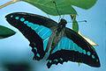 CSIRO ScienceImage 997 Graphium sarpedon Papilionidae.jpg
