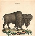 Ca. 1750 Italian Zoological Print of an American Bison (cropped).jpg