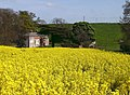 Cadeby through the rape field - geograph.org.uk - 419505.jpg