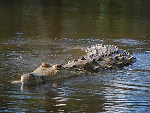 Orinoco Delta swamp forests - The critically endangered Orinoco crocodile (Crocodylus intermedius)