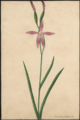 Caladenia latifolia by Susan Fereday.png