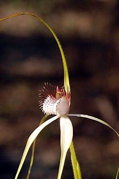 240px caladenia longicauda   king spider (2855351764)