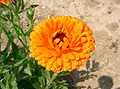 Calendula officinalis4.jpg