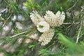 Callistemon salignus White Bottlebrush თეთრი კალისტემონი.JPG