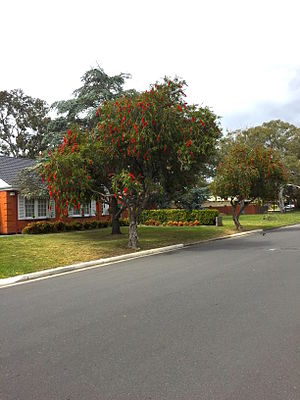 Callistemon - Callistemon viminalis in suburban Adelaide, South Australia.