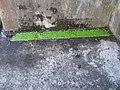 Callitriche stagnalis Scop. (AM AK309216-2).jpg
