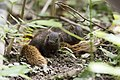 Callosciurus erythraeus thaiwanensis (30473716580).jpg