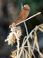 Calopteryx haemorrhoidalis hembra 20140806.jpg