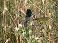 Calopteryx splendens - parenje, Srbija (15).jpg