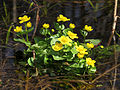 Caltha palustris Moshchun1.JPG