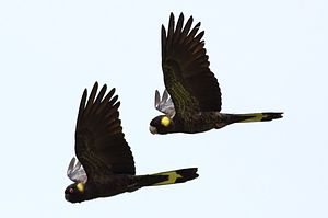 Yellow-tailed black cockatoo - A pair flying in Victoria, Australia
