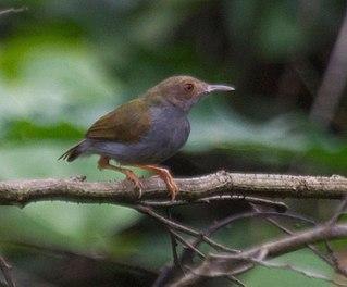 Olive-green camaroptera Species of bird