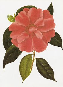 Camellia wikipedia camellia reticulata is rare in the wild but has been cultivated for hundreds of years mightylinksfo