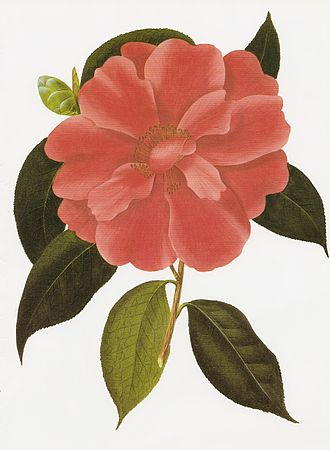 Camellia - Camellia reticulata is rare in the wild but has been cultivated for hundreds of years.