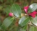 Camellia sasanqua (bud).jpg