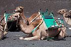 Camelo - Timanfaya - Lanzarote - Illas Canarias- Spain-T25.jpg