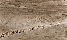 Camels in Jordan valley (4568207363).jpg