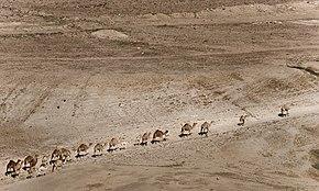 Cammelli nella Valle del Giordano