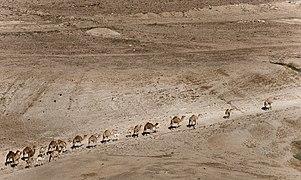 Camels in Jordan valley (4568207363).jpg