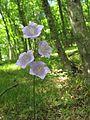 Campanula persicifolia flowers.jpg