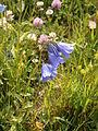 Campanula rhomboidalis3.jpg