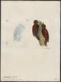 Campephilus rubiginosus - 1700-1880 - Print - Iconographia Zoologica - Special Collections University of Amsterdam - UBA01 IZ18700141.tif