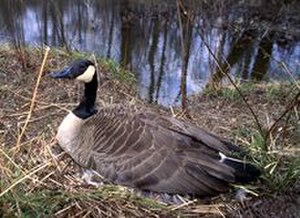 Rouge National Urban Park - Canada Goose