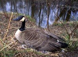 Rouge National Urban Park - Canada Goose