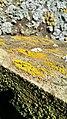 Candelariella vitellina 43094187.jpg