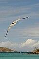 Caneel Bay Seagulls By Caneel Beach 17.jpg