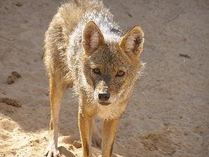 Wildlife of Algeria - Saharan jackals are a possible distinct species of jackal.