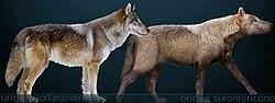 Canis dirus Sergiodlarosa.jpg
