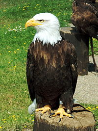 Captive bald eagle.JPG