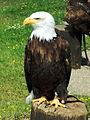 Captive bald eagle.JPG
