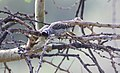 Cardinal Woodpecker (Dendropicos fuscescens) (31622355047).jpg